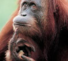 orango saggio